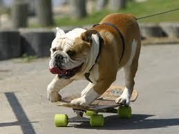 Tillman, il bulldog inglese fenomeno del surf