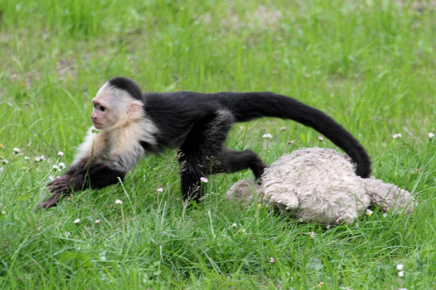 Germania, la scimmia di Justin Bieber ha trovato casa 04