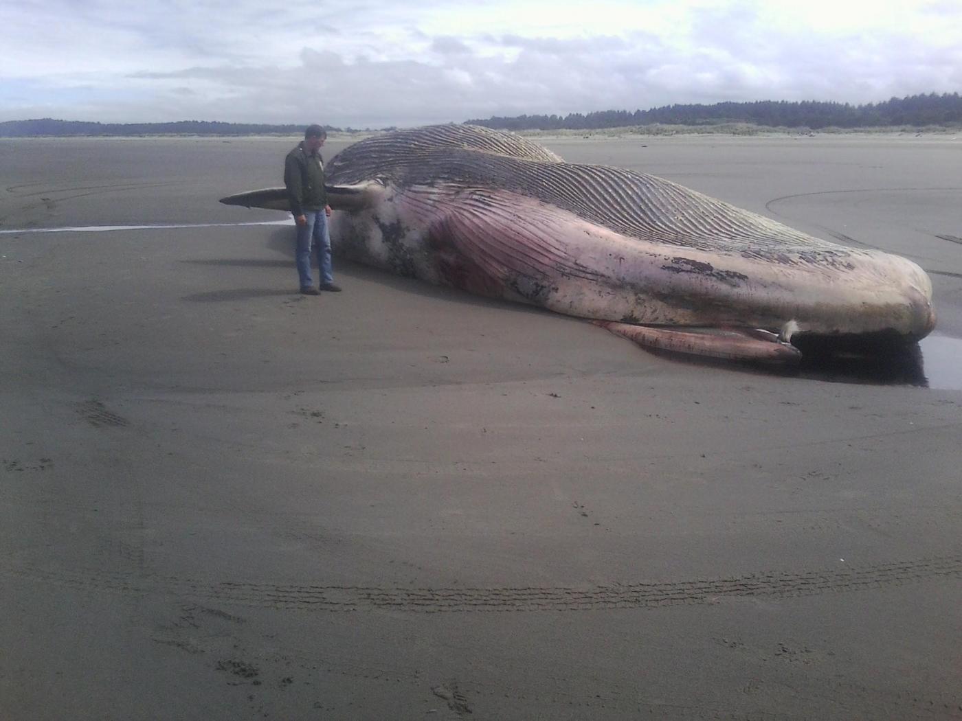 Balena spiaggiata a Ocean Shores