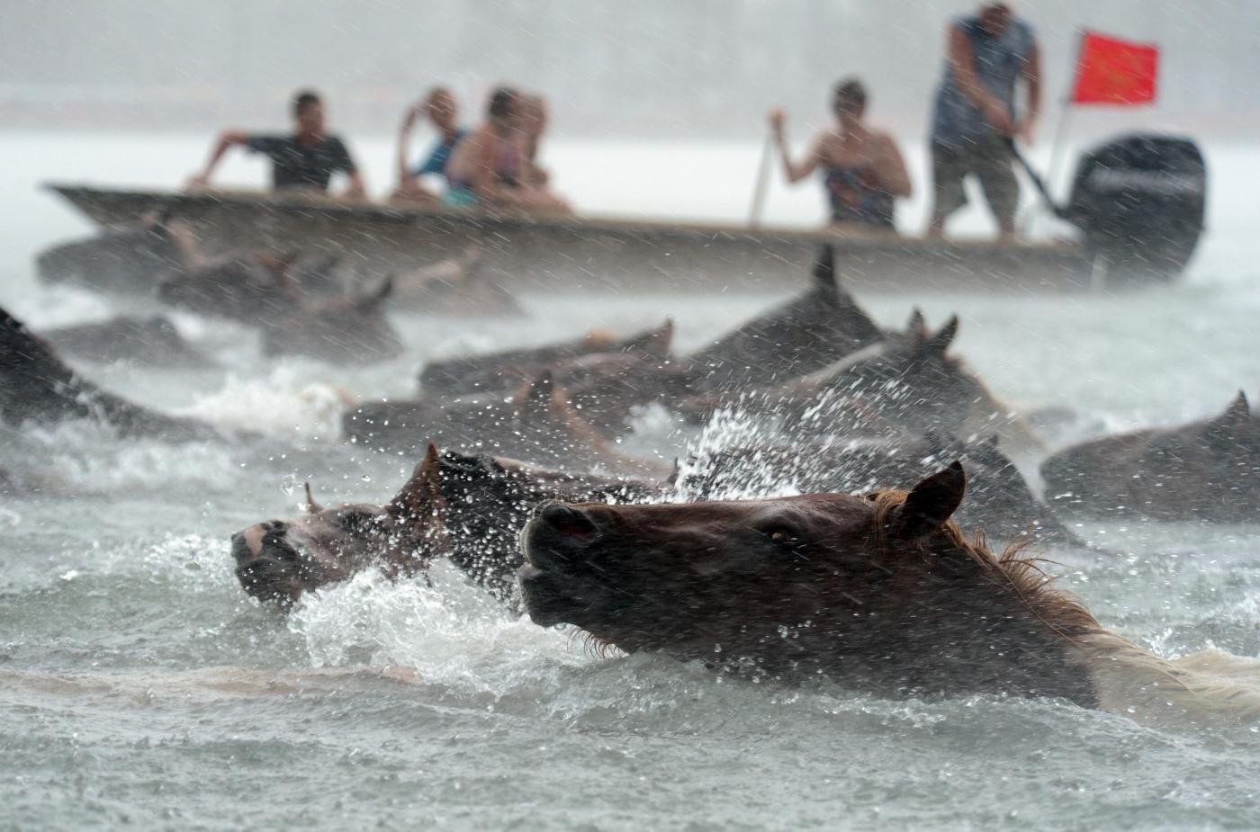Usa, i pony dell'isola di Assateague che nuotano nell'oceano01