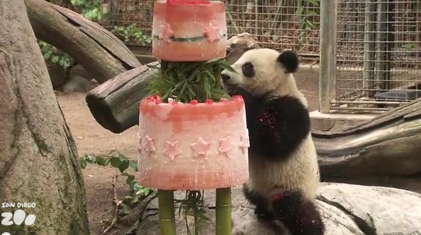 Il panda gigante Xiao Liwu compie un anno