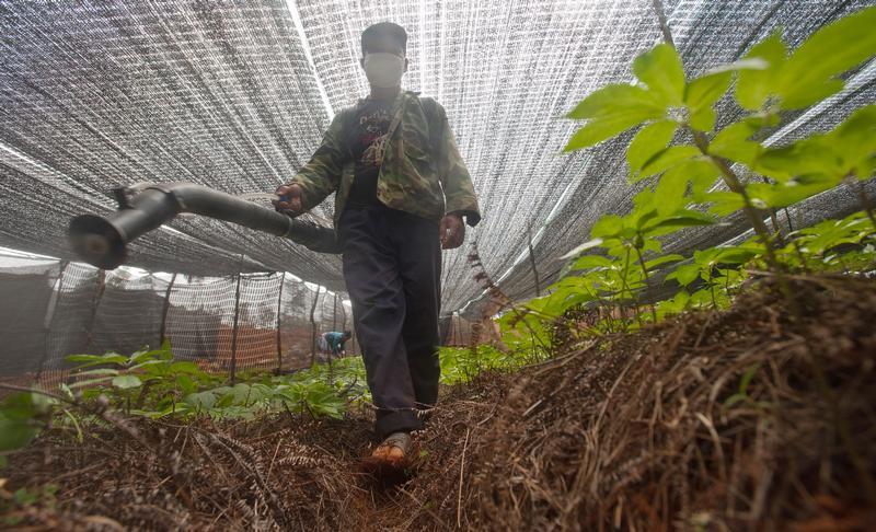 Pseudo-Ginseng Farms In Yunnan03