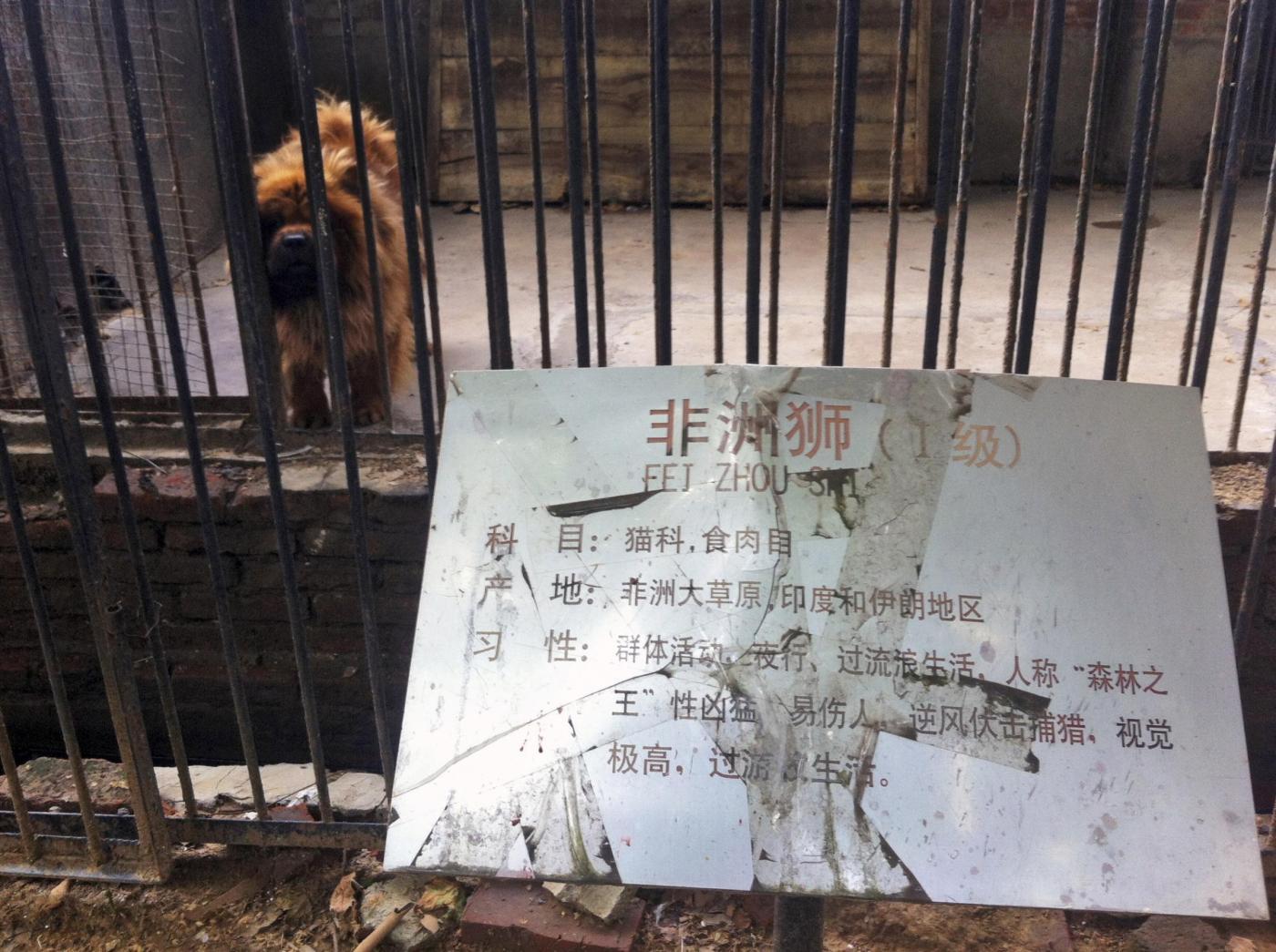 Cina, pastore tibetano al posto dei leoni allo zoo02