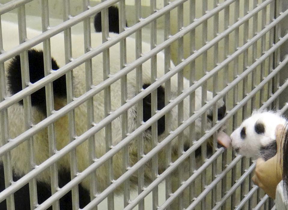 Yuan Yuan, mamma panda rivede il suo tenerissimo cucciolo03