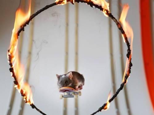 Australia: Harvey e Pedro, i topi saltano negli anelli di fuoco