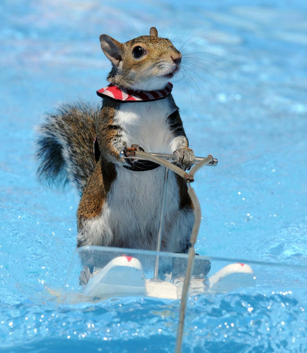 Twiggy, lo scoiattolo che corre sulle onde con lo sci d'acqua01