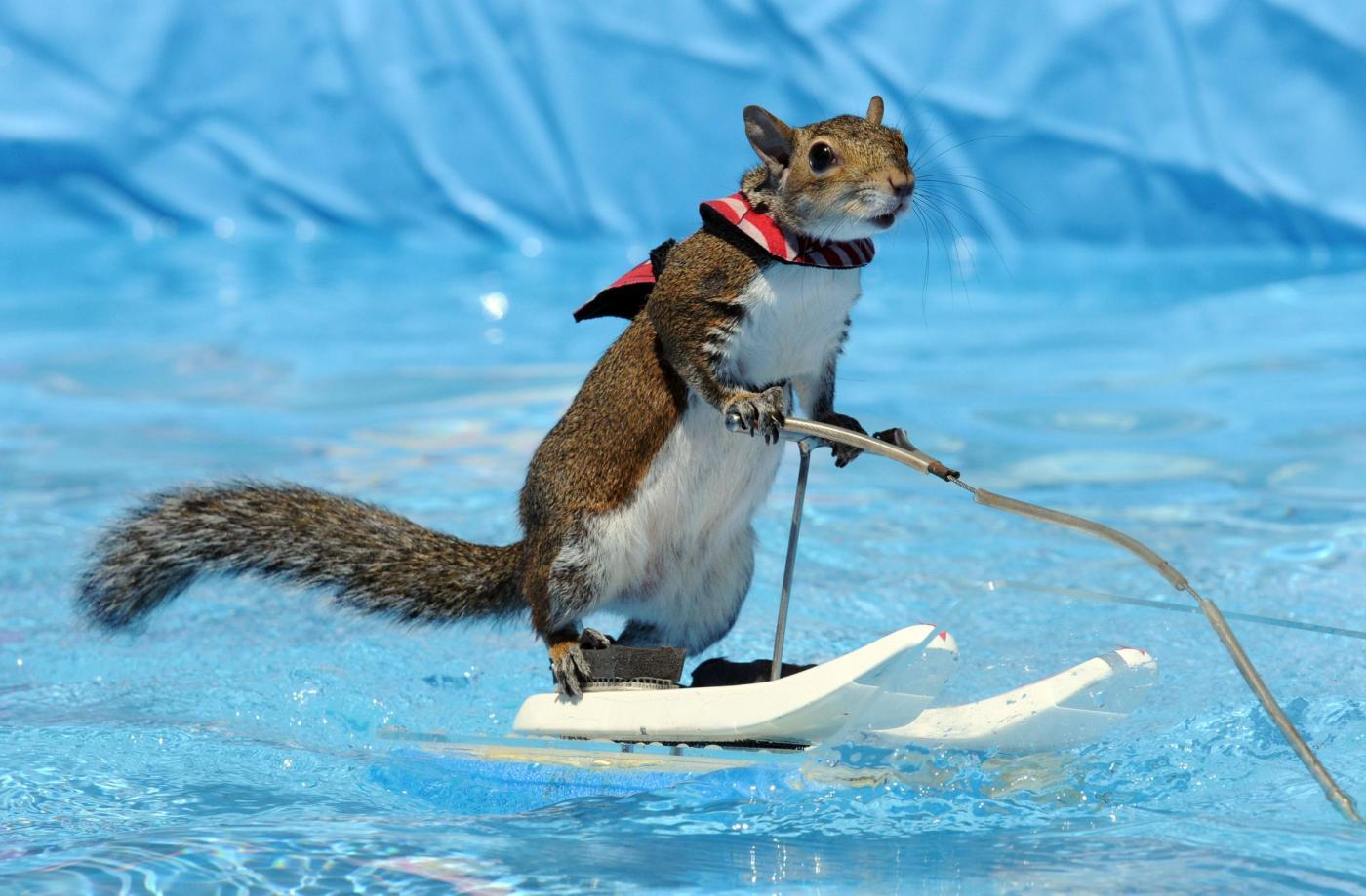 Twiggy, lo scoiattolo che corre sulle onde con lo sci d'acqua02