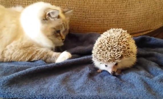 Cat_meets_hedgehog_1