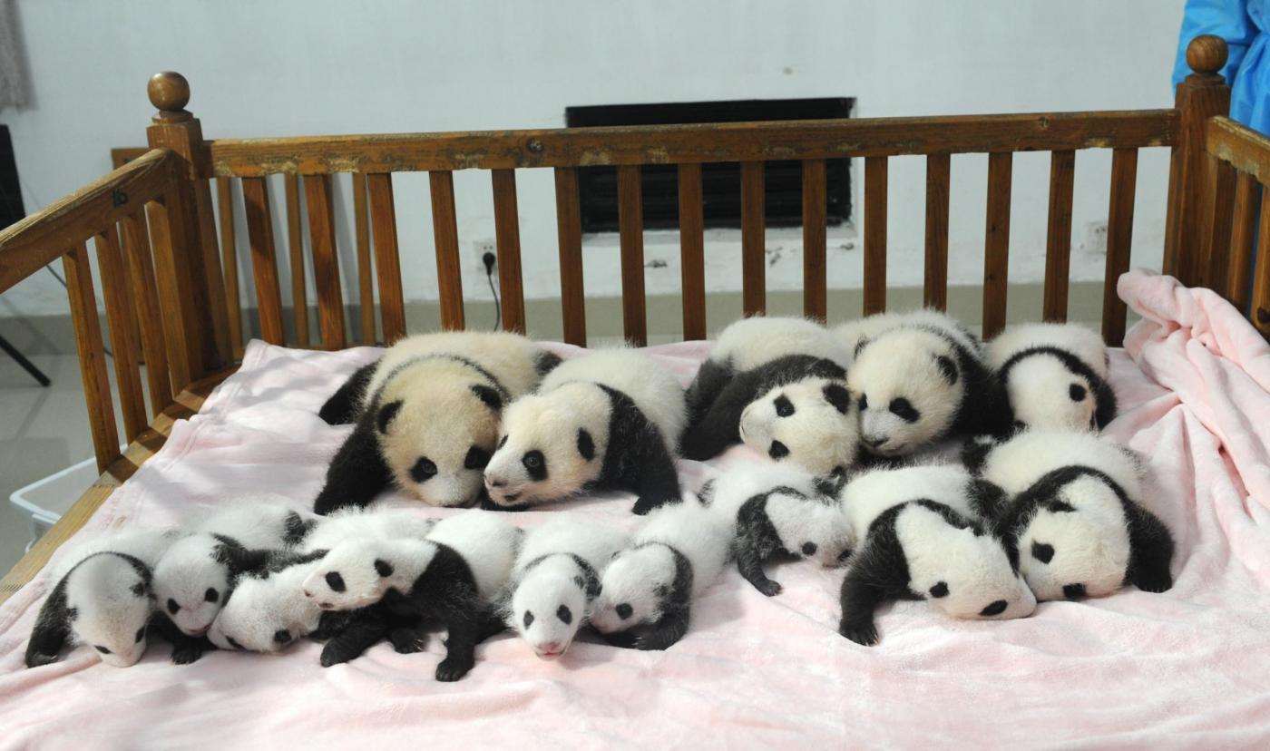 Cina, 14 cuccioli di panda gigante allo zoo di Chengdu 01