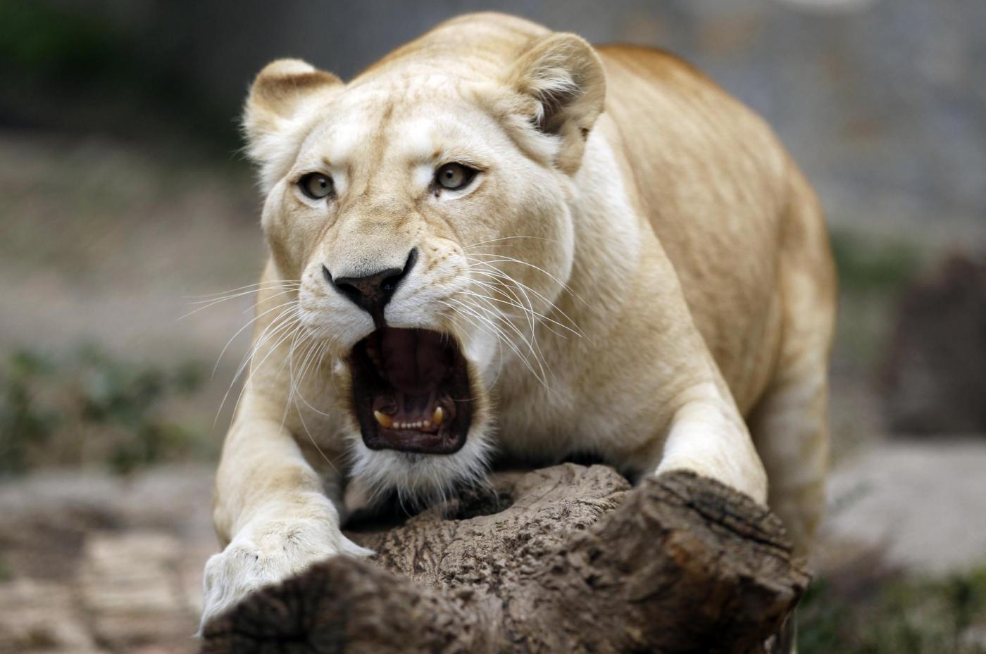 Cuccioli di leone bianco allo zoo di Belgrado01