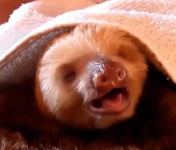 Singing_sloth_1