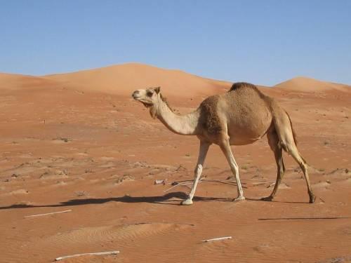 Germania, aumenta giustizia privata stile Islam: cammelli come risarcimento