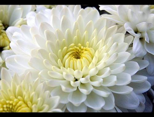 Crisantemo, fiore dei morti solo in Italia... in Europa è gioia