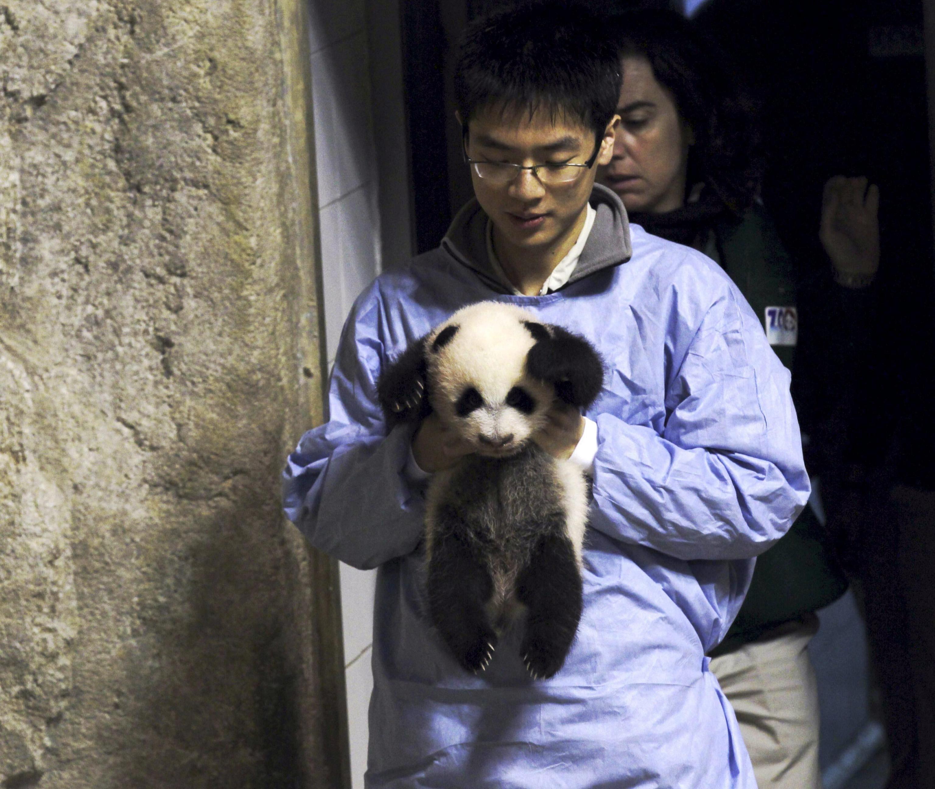 Il panda gigante nato allo zoo di Madrid 04