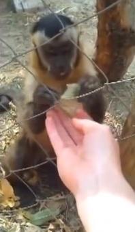Chino la scimmia capuccino insegna a schiacciare le foglie