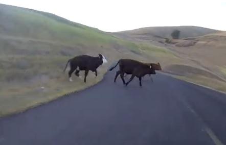 Ragazza investe mucca per strada
