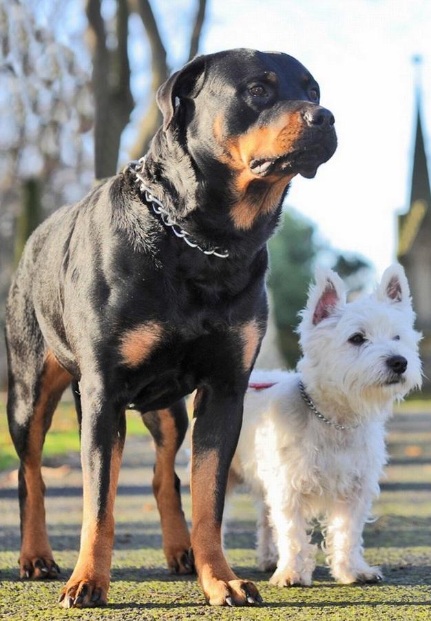 Zara e Westie danno alla luce 11 cuccioli: lei è una rottweiler lui un terrier 02