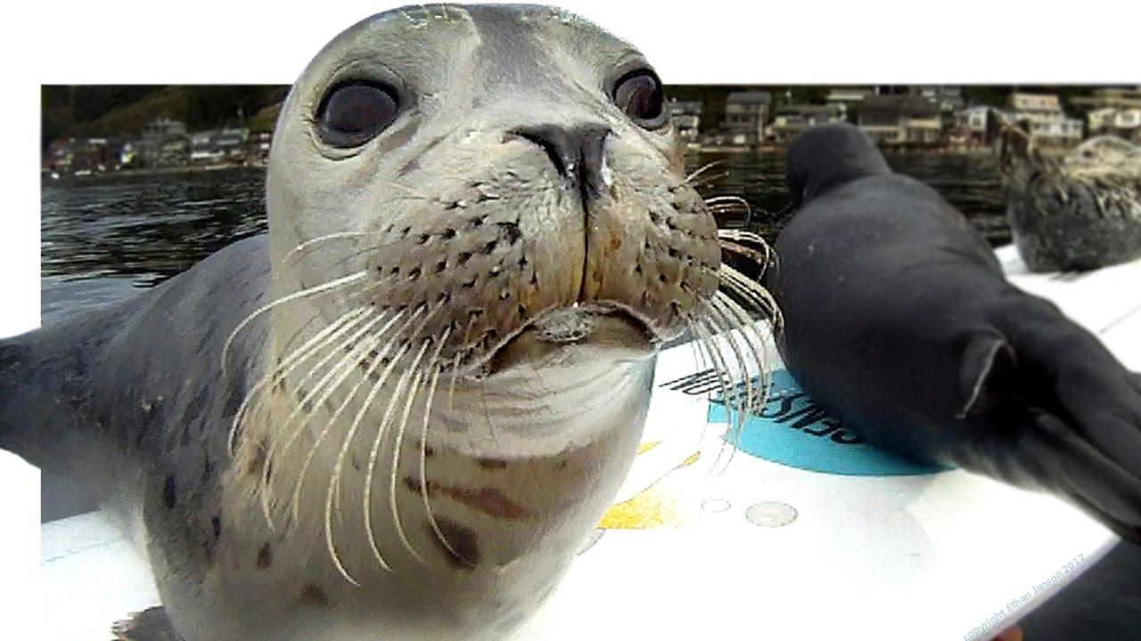 Le foche e il gabbiano sulla tavola da surf: 2 mln di clic su YouTube