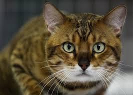 Il primo gatto domestico? E' cinese e visse 5300 anni fa...
