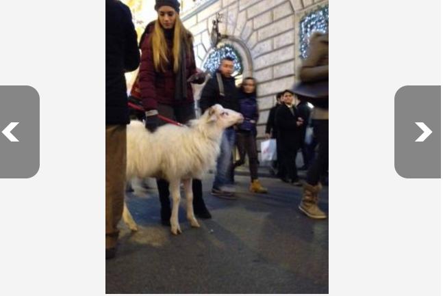 Roma, pecora al guinzaglio in via Condotti
