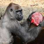 Gorilla festeggia compleanno con frutta ghiacciata01