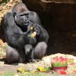Gorilla festeggia compleanno con frutta ghiacciata02