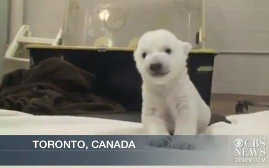 L'orsetto polare dello zoo di Toronto compie i suoi primi passi