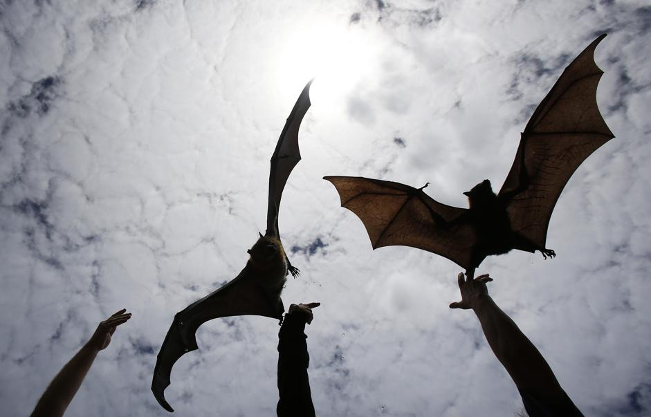 Sydney, pipistrelli giganti rilasciati dopo essere stati curati02