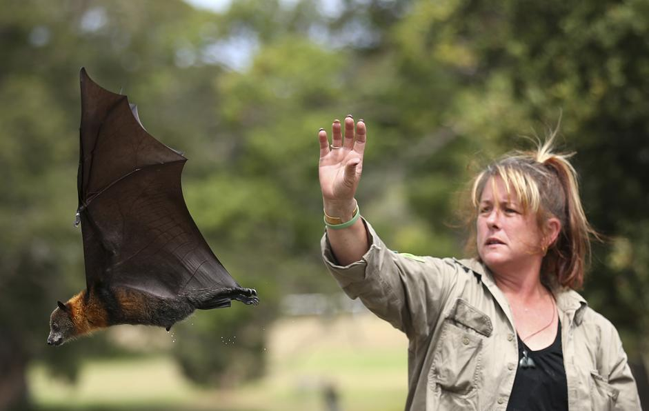 Sydney, pipistrelli giganti rilasciati dopo essere stati curati01