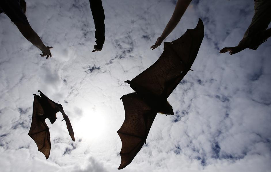 Sydney, pipistrelli giganti rilasciati dopo essere stati curati03