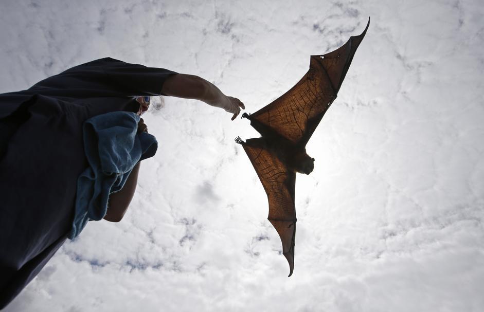 Sydney, pipistrelli giganti rilasciati dopo essere stati curati04