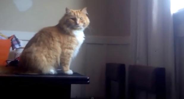 Skimbles, il gatto che non riesce a raggiungere con un salto la finestra
