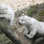 Monaco, cuccioli di orso polare mostrati al pubblico per la prima volta04