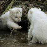 Monaco, cuccioli di orso polare mostrati al pubblico per la prima volta02
