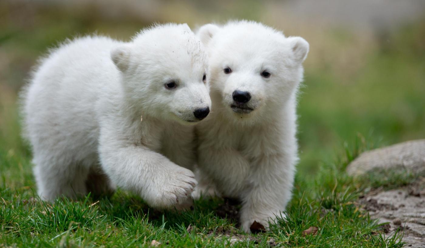 Monaco, cuccioli di orso polare mostrati al pubblico per la prima volta03