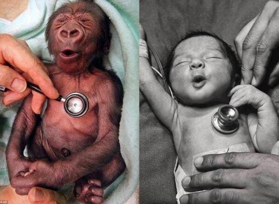Baby gorilla e il neonato: la reazione allo stetoscopio è la stessa