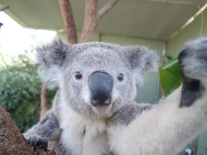 """Il koala che si fa i """"selfie"""" allo zoo di Sydney01"""