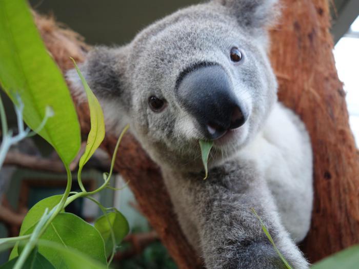 """Il koala che si fa i """"selfie"""" allo zoo di Sydney02"""