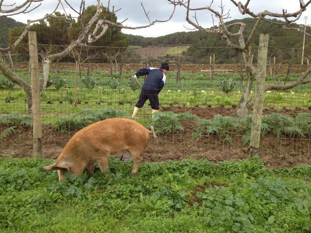 Scuola infanzia ottiene 'grazia' per maialina malata a Gorgona