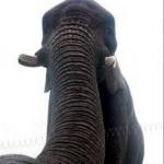 Ecco elfie, l'autoscatto realizzato dall'elefante01