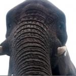 Ecco elfie, l'autoscatto realizzato dall'elefante02