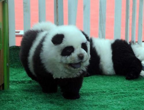 che ha subito molte stravaganti, per usare un eufemismo, modifiche estetiche per farlo assomigliare ad un panda