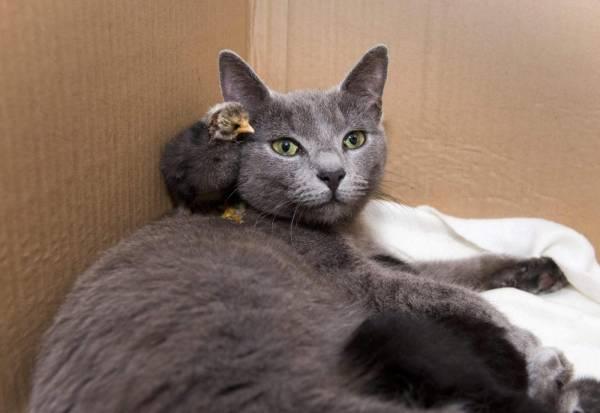 La gatta che dopo aver partorito, adotta anche un pulcino03