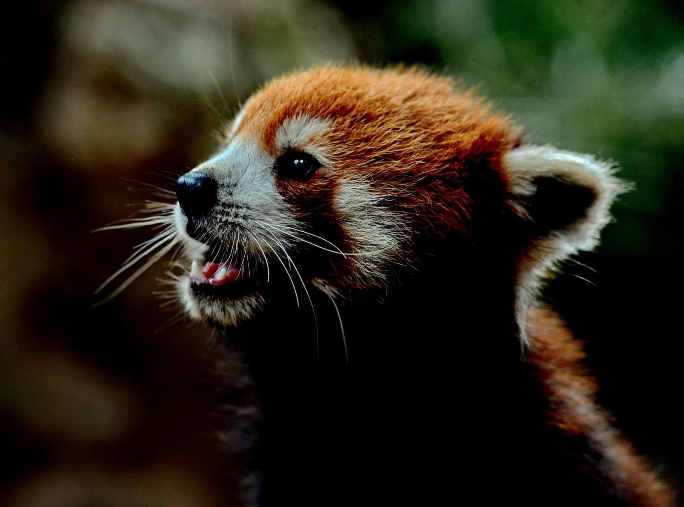 I tre panda rossi regalati dalla Cina allo zoo di Taipei03