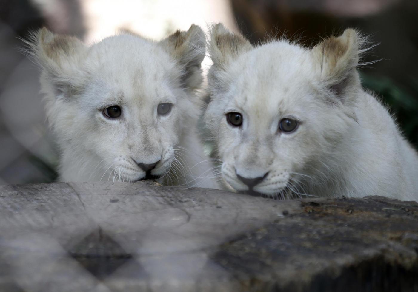 Tre cuccioli di leone albino in uno zoo privato di Las Vegas 07