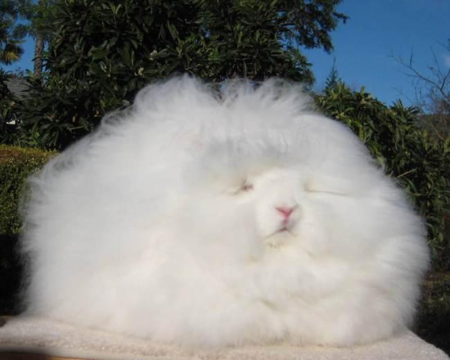 Ida, il coniglio d'angora con il pelo lungo 10 centimetri02