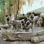 Nati due cuccioli di licaone al Bioparco di Roma10