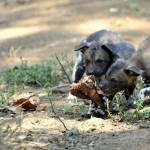 Nati due cuccioli di licaone al Bioparco di Roma02