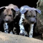 Nati due cuccioli di licaone al Bioparco di Roma03