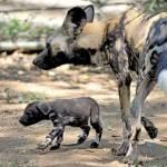 Nati due cuccioli di licaone al Bioparco di Roma04